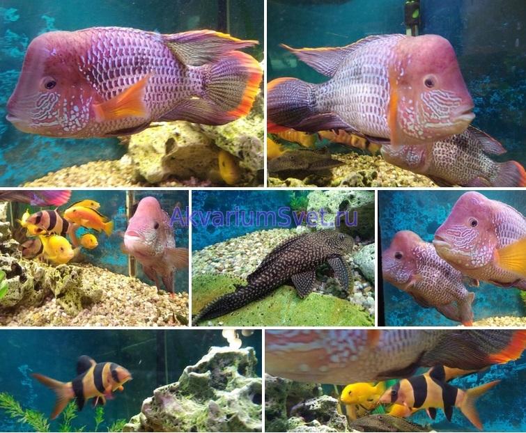 Коллаж - аквариумные рыбки
